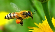The Pollinator Crisis: What's Best for Bees